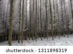 deciduous larch trees  larix... | Shutterstock . vector #1311898319