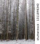deciduous larch trees  larix... | Shutterstock . vector #1311898340