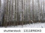 deciduous larch trees  larix... | Shutterstock . vector #1311898343