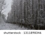 deciduous larch trees  larix... | Shutterstock . vector #1311898346