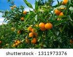 closeup of ripe juicy mandarin... | Shutterstock . vector #1311973376