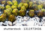 closeup of artichokes being... | Shutterstock . vector #1311973436