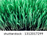 sprouts of green wheat grass on ...   Shutterstock . vector #1312017299