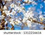 gorgeous lush magnolia flowers... | Shutterstock . vector #1312216616