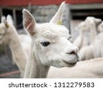 white alpaca herd  funny... | Shutterstock . vector #1312279583