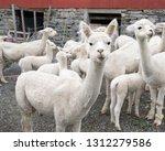 white alpaca herd  funny... | Shutterstock . vector #1312279586