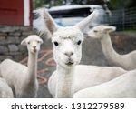 white alpaca herd  funny... | Shutterstock . vector #1312279589