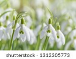 spring snowdrops flower. early... | Shutterstock . vector #1312305773