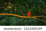 Redbird Perched On A Tree Limb...