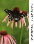 Female Black Swallowtail...
