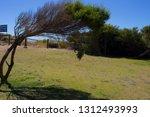 Windswept Bent Melaleuca Tree...