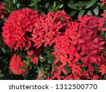 red spike flowers bloom in the...   Shutterstock . vector #1312500770