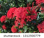 red spike flowers bloom in the...   Shutterstock . vector #1312500779