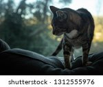 old indoor cat gets comfortable ... | Shutterstock . vector #1312555976
