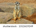 meerkat is a small southern... | Shutterstock . vector #1312619249
