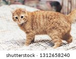 Stock photo ginger cat on the bed 1312658240