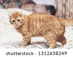 Stock photo ginger cat on the bed 1312658249