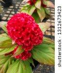cockscomb flowers or celosia... | Shutterstock . vector #1312673423