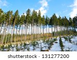 Spruce Trees Forest With Spruc...