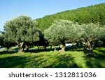 olive trees  olive grove | Shutterstock . vector #1312811036