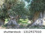 centuries old olive trees in a ... | Shutterstock . vector #1312927010