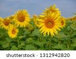 sunflower in the field | Shutterstock . vector #1312942820