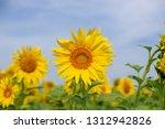 sunflower in the field | Shutterstock . vector #1312942826