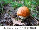 closeup of orange cap boletus ... | Shutterstock . vector #1312974893