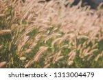 brown grass flowers at sunset | Shutterstock . vector #1313004479