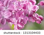 lilac flowers background.... | Shutterstock . vector #1313104433
