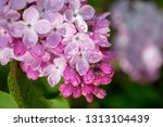 lilac flowers background.... | Shutterstock . vector #1313104439