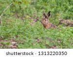 Stock photo european hare sitting in the grass with blurred green background wild brown hare lepus europaeus 1313220350