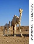 dromedary or arabian camel with ... | Shutterstock . vector #1313248199
