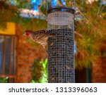 Male House Finch Getting Ready...