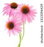 A stem pink echinacea...