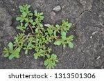 portulaca oleracea.  weeds.  | Shutterstock . vector #1313501306