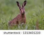 Stock photo european brown hare 1313601233