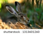 Stock photo european brown hare 1313601260