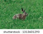 Stock photo european brown hare 1313601293