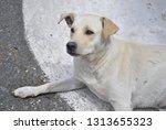 canine friend in corfu | Shutterstock . vector #1313655323