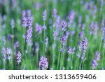 violet lavander field blur... | Shutterstock . vector #1313659406