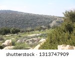 olive tree groves in beautiful... | Shutterstock . vector #1313747909