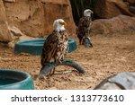 bald eagle in captivity. eagle... | Shutterstock . vector #1313773610