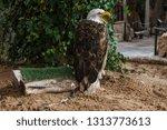 bald eagle in captivity. eagle... | Shutterstock . vector #1313773613