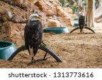 bald eagle in captivity. eagle... | Shutterstock . vector #1313773616