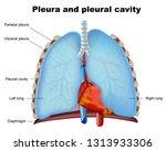 lung pleura and pleural cavity... | Shutterstock .eps vector #1313933306