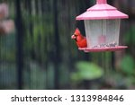 red male northern cardinal... | Shutterstock . vector #1313984846