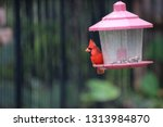 red male northern cardinal... | Shutterstock . vector #1313984870