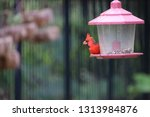 red male northern cardinal... | Shutterstock . vector #1313984876