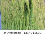 algae or seaweed stuck to the... | Shutterstock . vector #1314011630